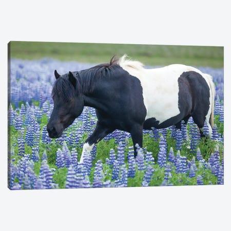 Icelandic Pony And Lupins 3-Piece Canvas #GAR216} by Gareth McCormack Canvas Print