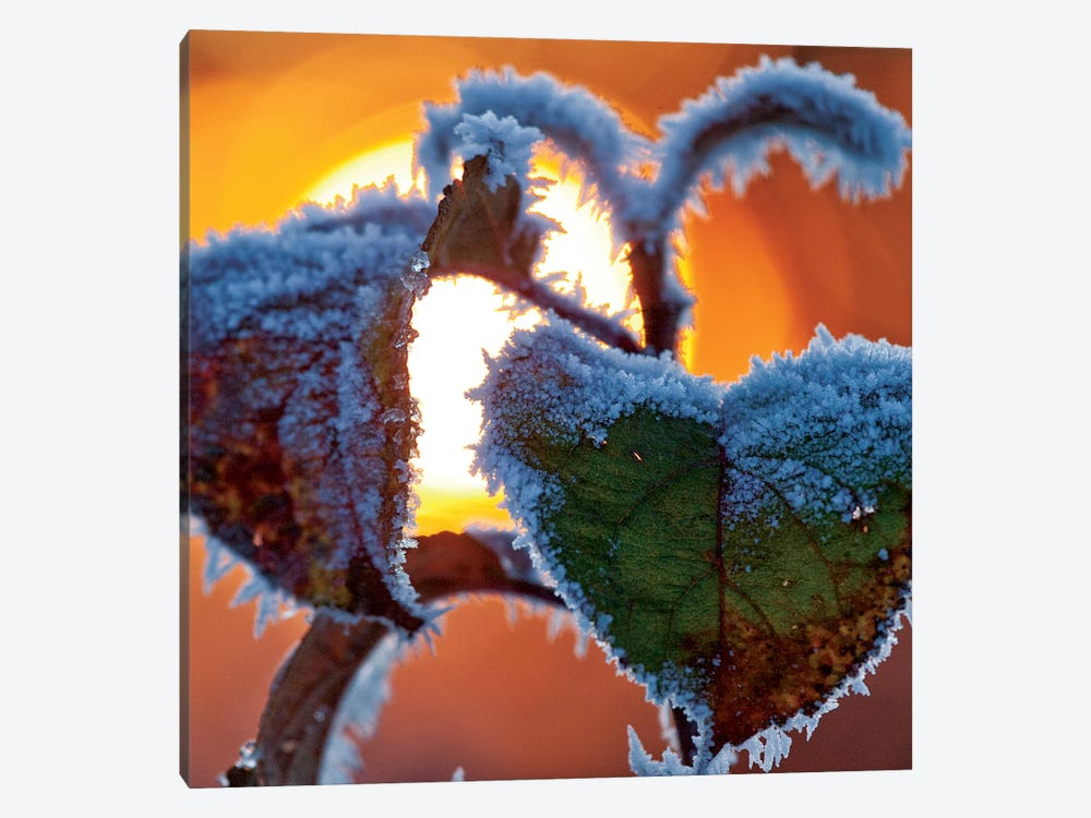 Frosted Leaves At Sunset, County Sligo, Connacht Province, Republic Of Ireland by Gareth McCormack 1-piece Canvas Artwork