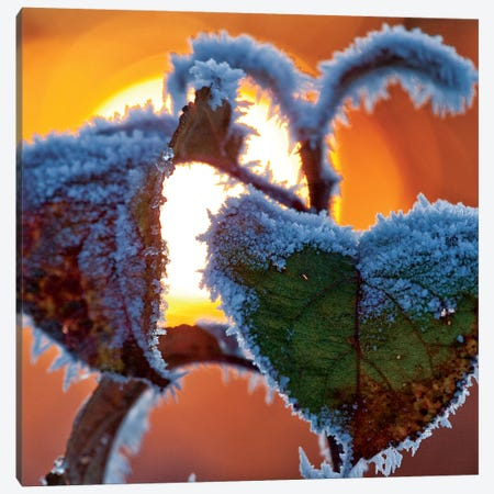Frosted Leaves At Sunset, County Sligo, Connacht Province, Republic Of Ireland Canvas Print #GAR45} by Gareth McCormack Canvas Print