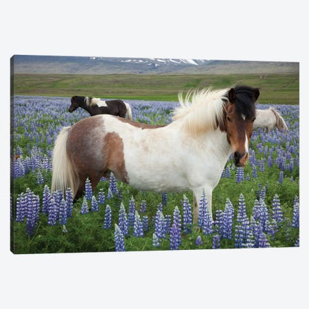 Icelandic Horses In A Meadow Of Nootka Lupines, Varmahlid, Skagafjordur, Nordurland Vestra, Iceland Canvas Print #GAR50} by Gareth McCormack Art Print