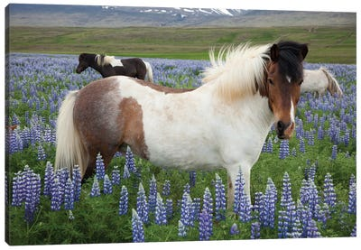 Icelandic Horses In A Meadow Of Nootka Lupines, Varmahlid, Skagafjordur, Nordurland Vestra, Iceland Canvas Art Print