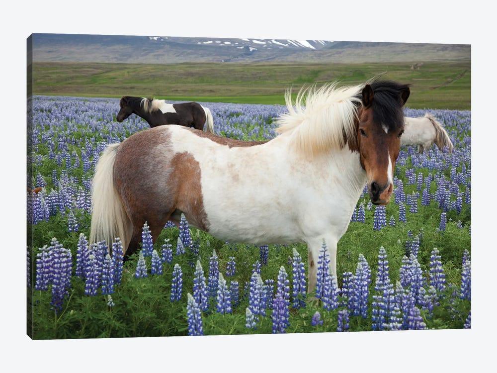 Icelandic Horses In A Meadow Of Nootka Lupines, Varmahlid, Skagafjordur, Nordurland Vestra, Iceland by Gareth McCormack 1-piece Canvas Art