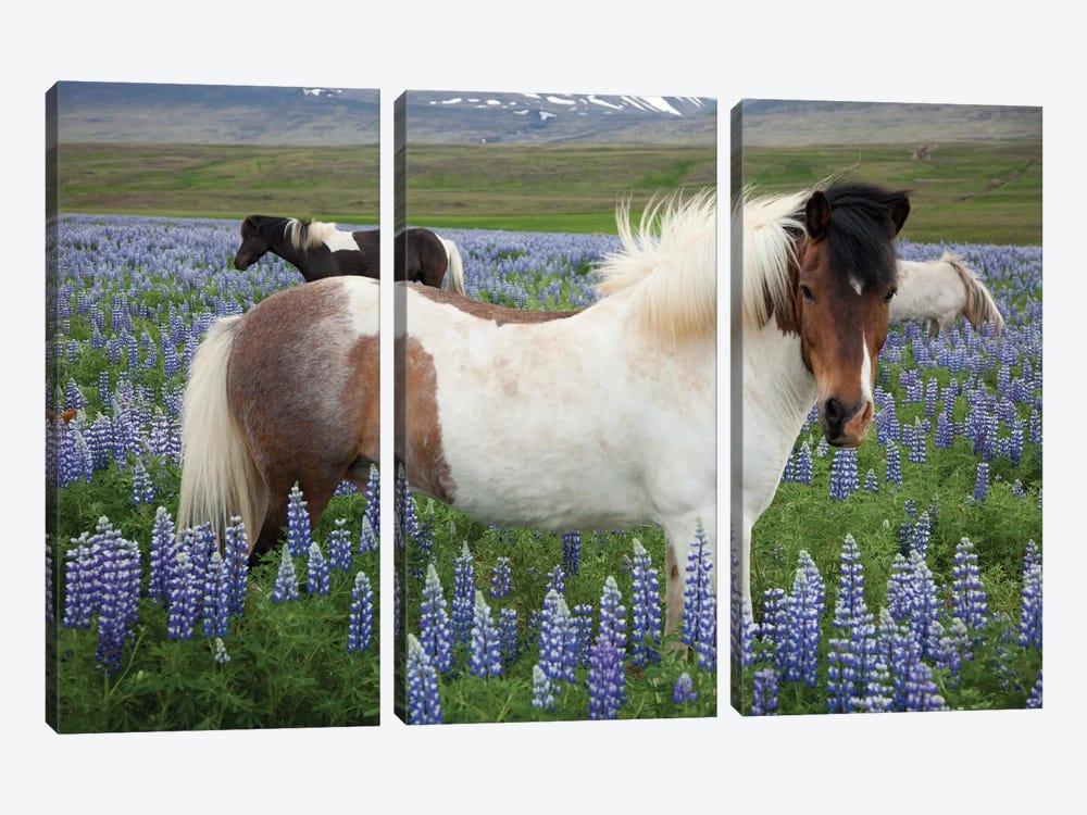 Icelandic Horses In A Meadow Of Nootka Lupines, Varmahlid, Skagafjordur, Nordurland Vestra, Iceland by Gareth McCormack 3-piece Canvas Wall Art