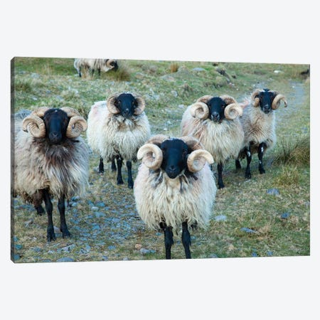 Mayo Blackface Rams, Erriff Valley, County Mayo, Connacht Province, Republic Of Ireland Canvas Print #GAR56} by Gareth McCormack Canvas Artwork