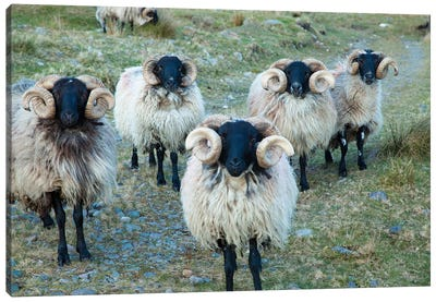 Mayo Blackface Rams, Erriff Valley, County Mayo, Connacht Province, Republic Of Ireland Canvas Art Print