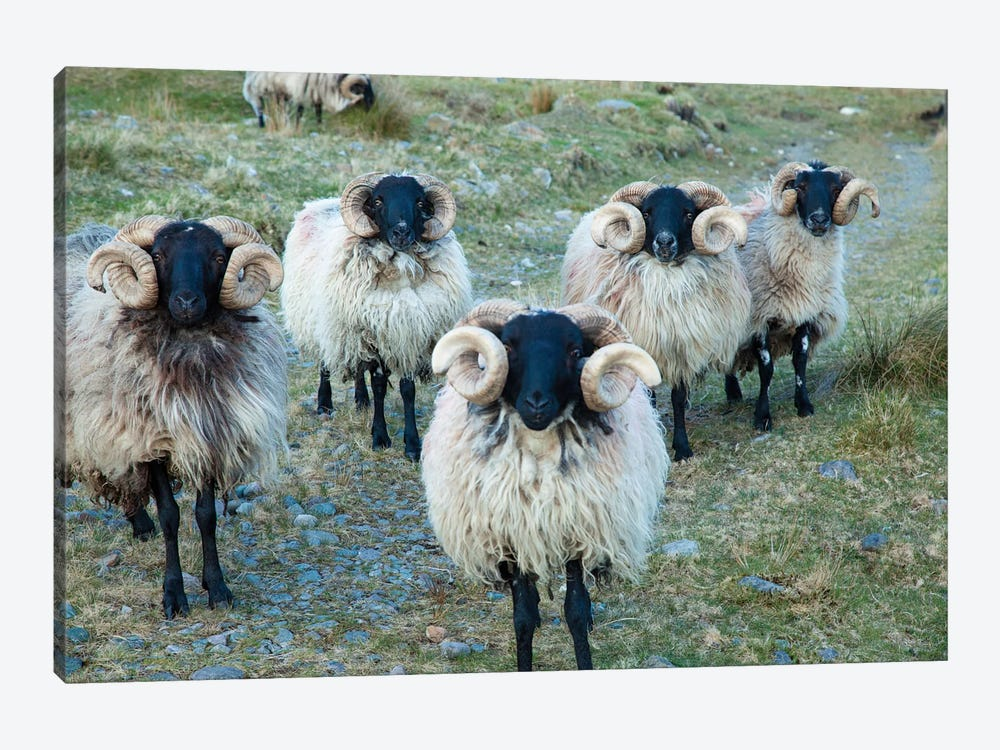 Mayo Blackface Rams, Erriff Valley, County Mayo, Connacht Province, Republic Of Ireland by Gareth McCormack 1-piece Canvas Wall Art