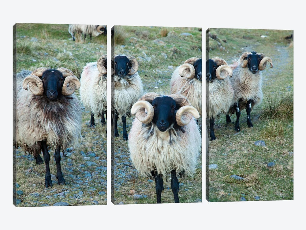Mayo Blackface Rams, Erriff Valley, County Mayo, Connacht Province, Republic Of Ireland by Gareth McCormack 3-piece Canvas Wall Art
