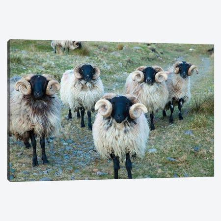 Mayo Blackface Rams, Erriff Valley, County Mayo, Connacht Province, Republic Of Ireland Canvas Print #GAR56} by Gareth McCormack Canvas Artwork