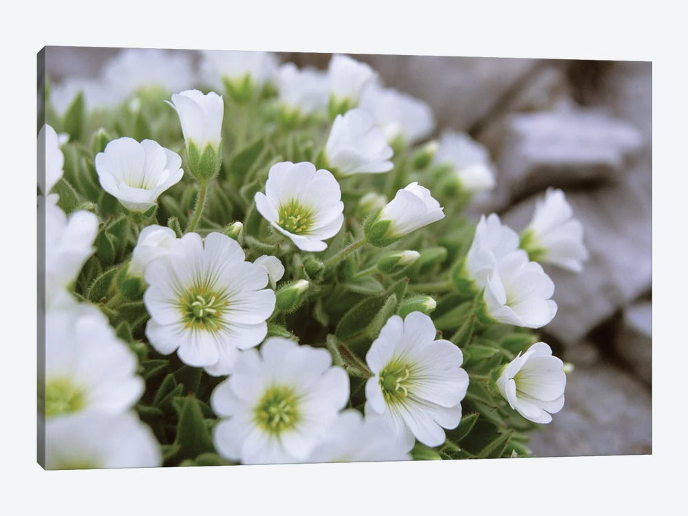 Mountain Avens, Central Eastern Alps, Austria 1-piece Canvas Wall Art