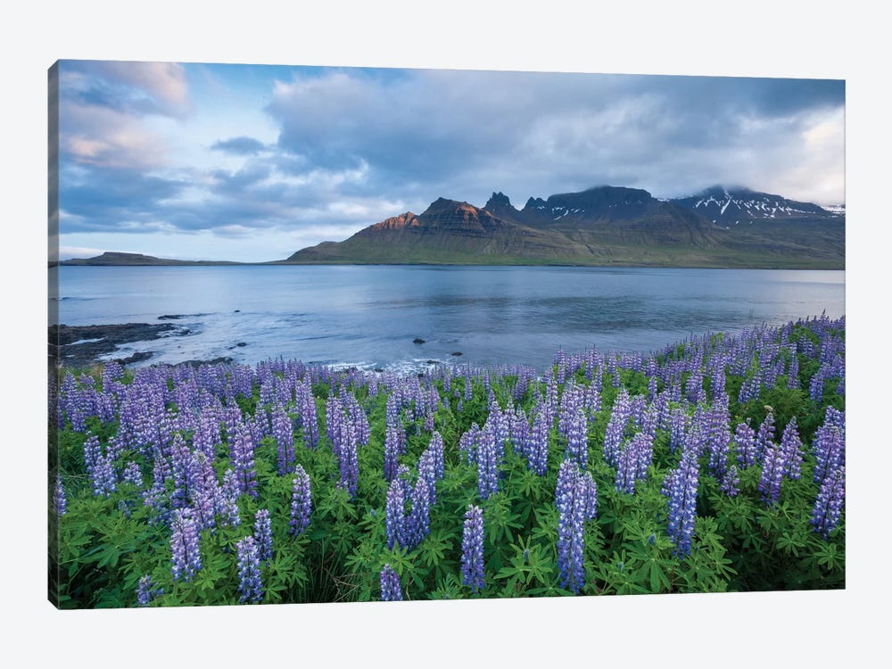 Nootka Lupines I, Stodvarfjordur Fjord, Austurland, Iceland by Gareth McCormack 1-piece Canvas Print