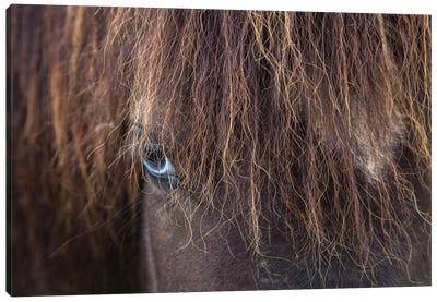 Blue-eyed Icelandic Horse, Varmahlid, Skagafjordur, Nordurland Vestra, Iceland Canvas Print #GAR7
