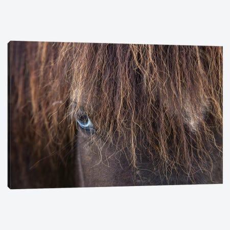 Blue-eyed Icelandic Horse, Varmahlid, Skagafjordur, Nordurland Vestra, Iceland Canvas Print #GAR7} by Gareth McCormack Canvas Print