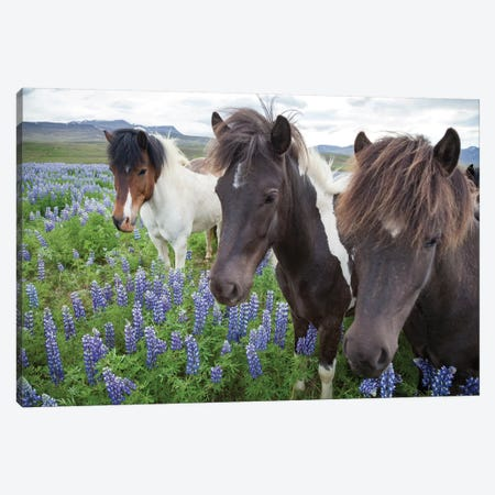 Three Icelandic Horses In A Meadow Of Nootka Lupines, Varmahlid, Skagafjordur, Nordurland Vestra, Iceland Canvas Print #GAR94} by Gareth McCormack Canvas Art