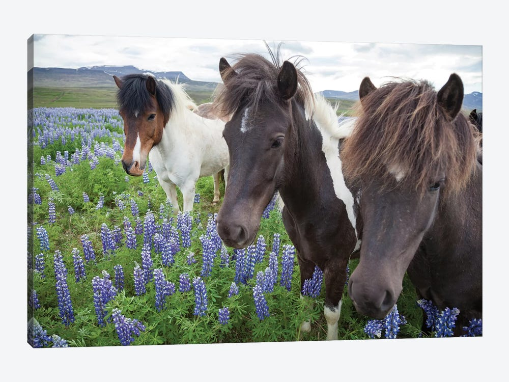 Three Icelandic Horses In A Meadow Of Nootka Lupines, Varmahlid, Skagafjordur, Nordurland Vestra, Iceland by Gareth McCormack 1-piece Canvas Artwork