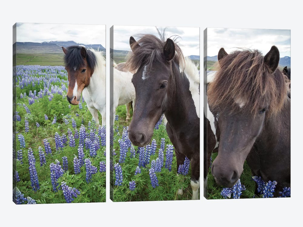 Three Icelandic Horses In A Meadow Of Nootka Lupines, Varmahlid, Skagafjordur, Nordurland Vestra, Iceland by Gareth McCormack 3-piece Canvas Artwork