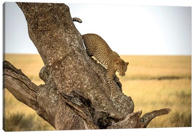 Leopard - Serengheti, Tanzania Canvas Art Print