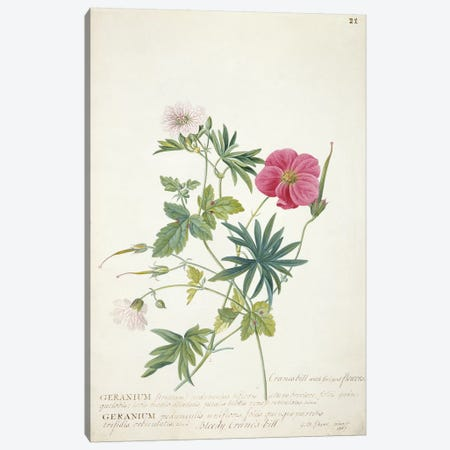 Geranium. Two intertwined stems of different species, 1767  Canvas Print #GDE10} by Georg Dionysius Ehret Canvas Art