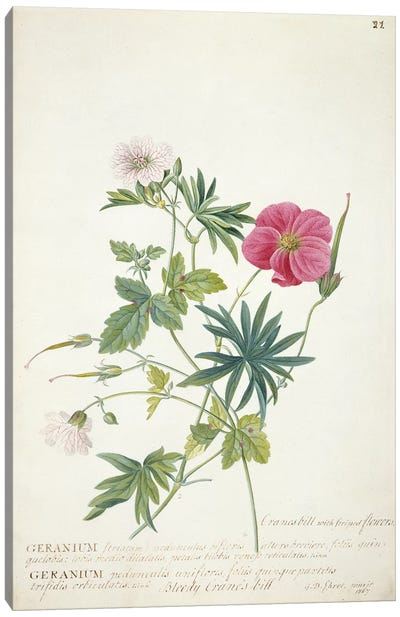 Geranium. Two intertwined stems of different species, 1767  Canvas Art Print