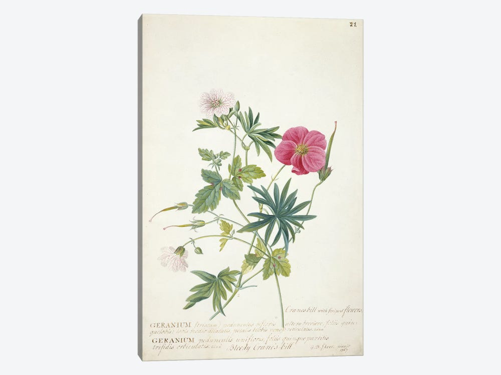 Geranium. Two intertwined stems of different species, 1767  by Georg Dionysius Ehret 1-piece Canvas Artwork
