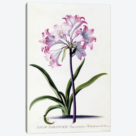 Lilio Narcissus, c.1744  Canvas Print #GDE11} by Georg Dionysius Ehret Canvas Wall Art