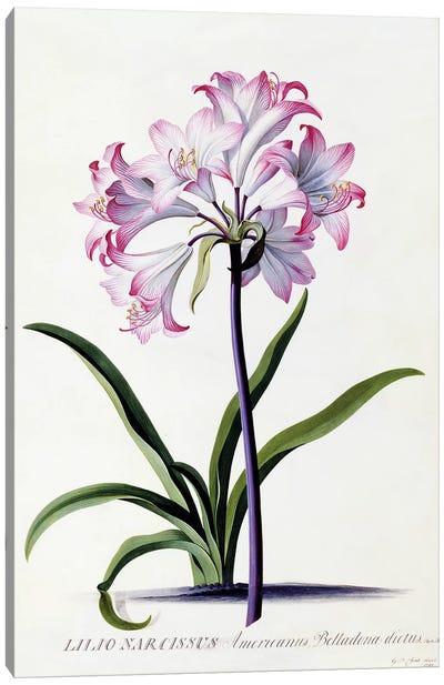 Lilio Narcissus, c.1744  Canvas Art Print