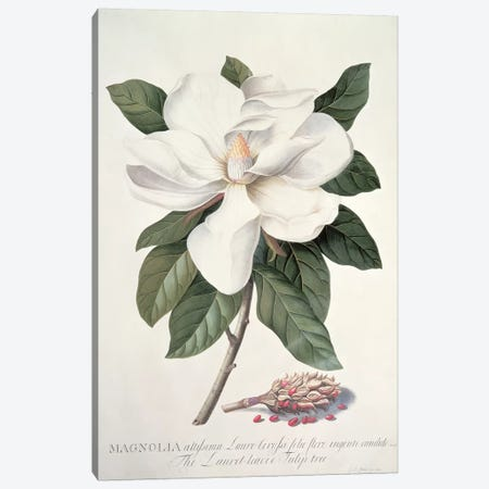 Magnolia Canvas Print #GDE12} by Georg Dionysius Ehret Canvas Artwork