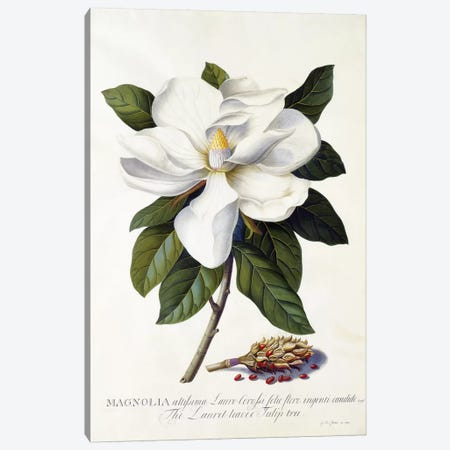 Magnolia grandiflora, c.1743  Canvas Print #GDE13} by Georg Dionysius Ehret Canvas Wall Art