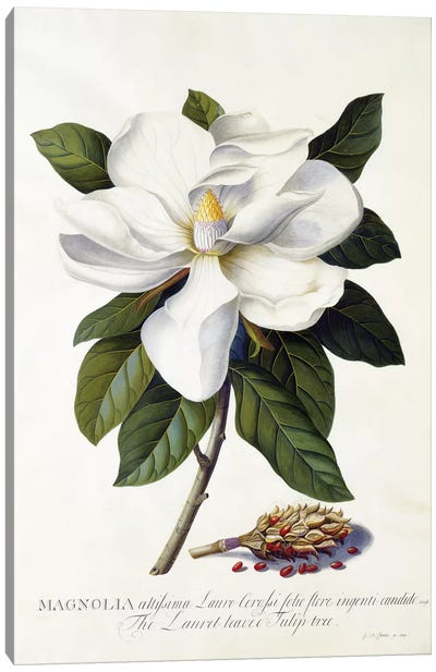 Magnolia grandiflora, c.1743  Canvas Art Print