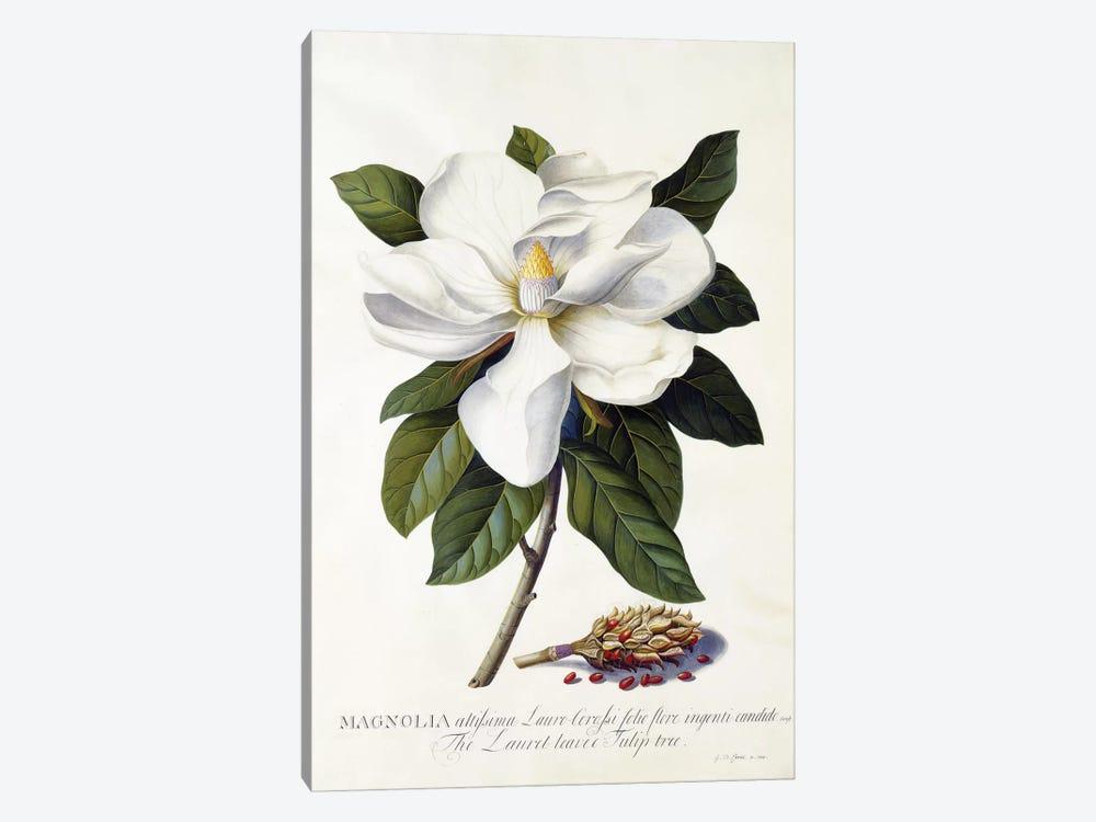 Magnolia grandiflora, c.1743  by Georg Dionysius Ehret 1-piece Art Print