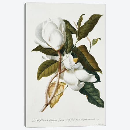 Magnolia,  Canvas Print #GDE15} by Georg Dionysius Ehret Canvas Print