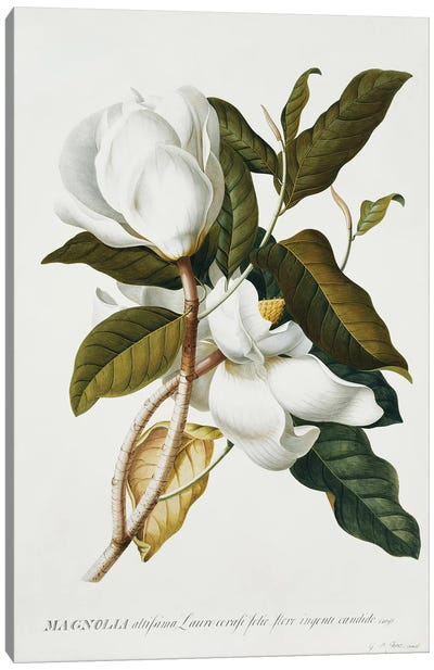 Magnolia,  Canvas Art Print