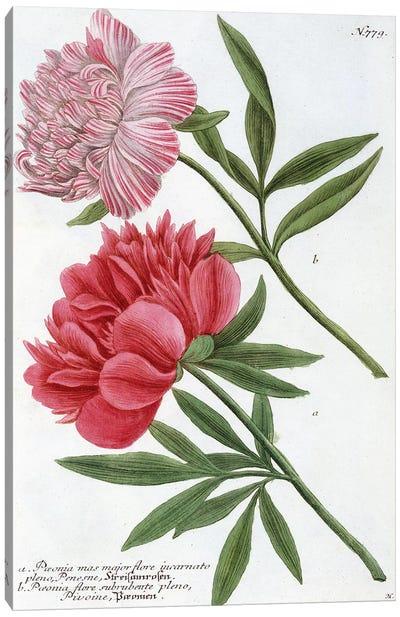 Paeonia from Johann Wilhelm Weinmann's Phytanthoza Iconographia, 1737  Canvas Art Print