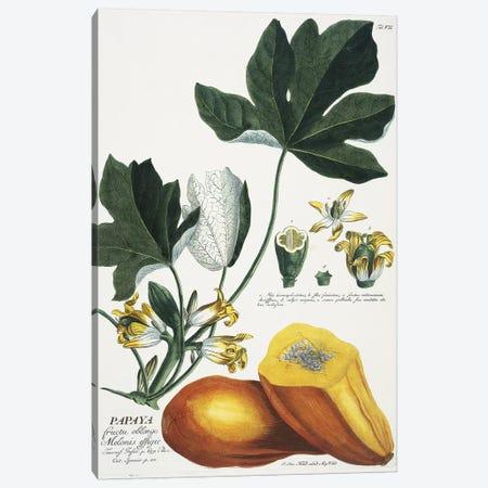 Papaya   Canvas Print #GDE18} by Georg Dionysius Ehret Canvas Wall Art