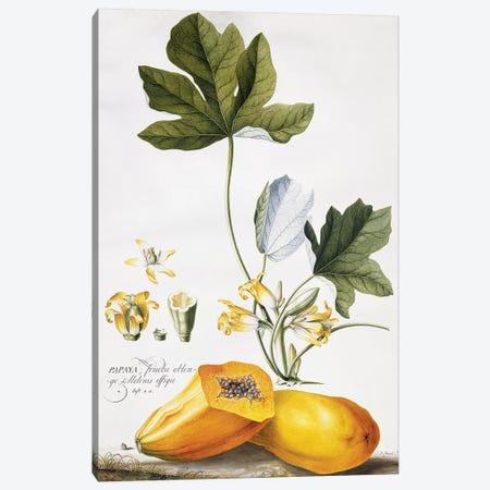Papaya,  Canvas Print #GDE19} by Georg Dionysius Ehret Canvas Wall Art