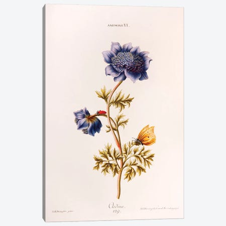Anemone VI (Clodina) Canvas Print #GDE1} by Georg Dionysius Ehret Canvas Art Print