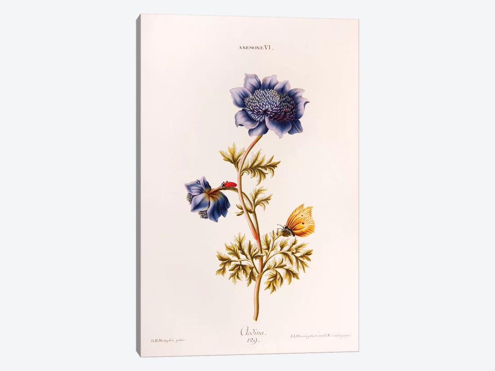 Anemone VI (Clodina) by Georg Dionysius Ehret 1-piece Canvas Wall Art
