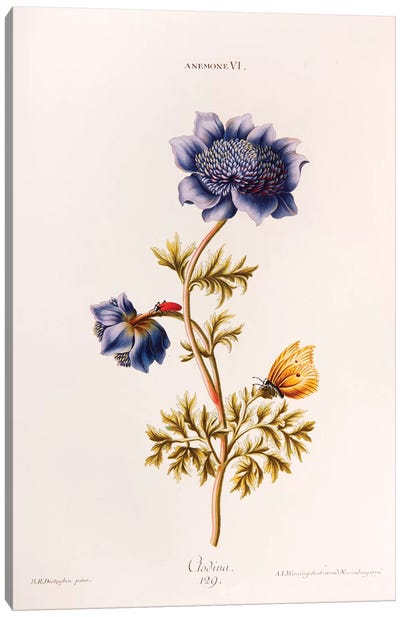 Anemone VI (Clodina) Canvas Art Print