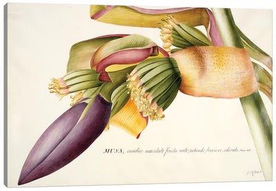 PD.117-1973f.19 Flower of the Banana Tree   Canvas Art Print