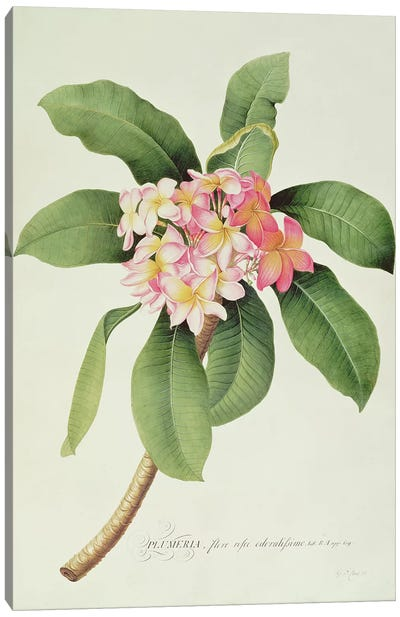 Plumeria Canvas Art Print