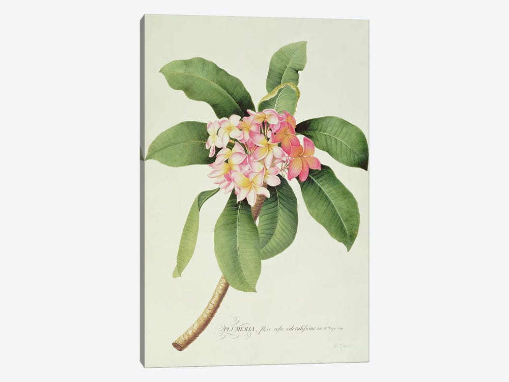 Plumeria by Georg Dionysius Ehret 1-piece Canvas Artwork