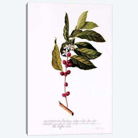 The Coffee Tree, c.1743  Canvas Print #GDE22} by Georg Dionysius Ehret Canvas Art Print