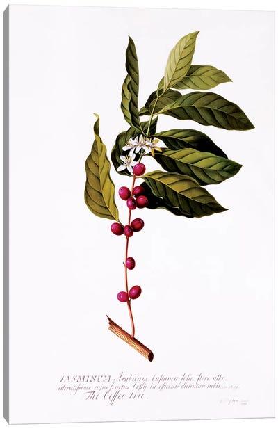 The Coffee Tree, c.1743  Canvas Art Print