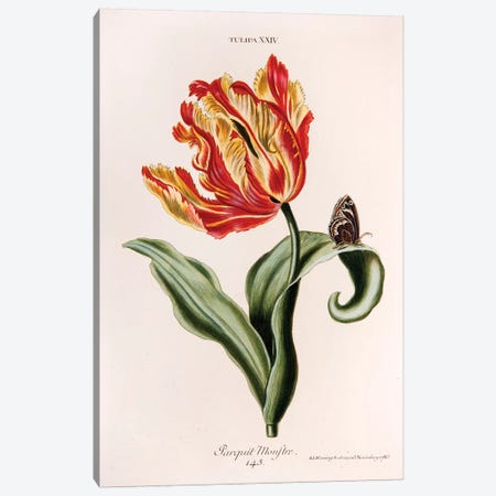 Tulipa XXIV (Parquit-Monstre) Canvas Print #GDE2} by Georg Dionysius Ehret Art Print