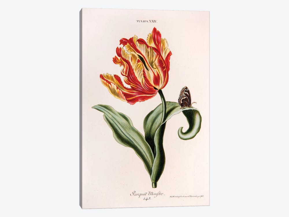 Tulipa XXIV (Parquit-Monstre) by Georg Dionysius Ehret 1-piece Art Print