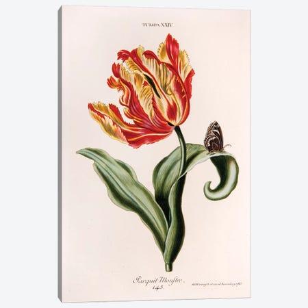Tulipa XXIV (Parquit-Monstre) Canvas Print #GDE2} by Georg Dionysius Ehret Art Print