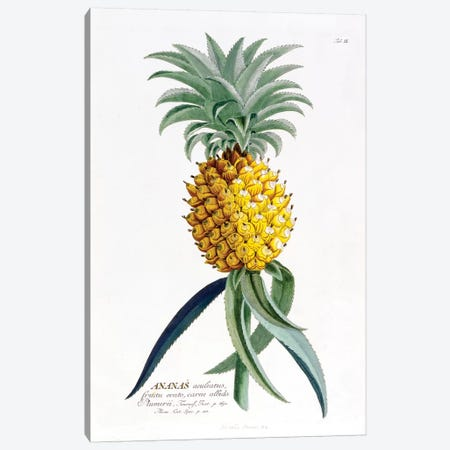 Ananas (Pineapple) Canvas Print #GDE3} by Georg Dionysius Ehret Art Print