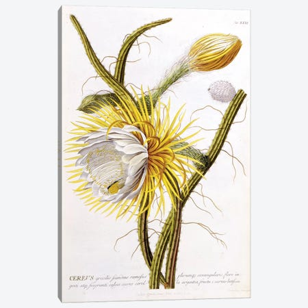 Cereus Canvas Print #GDE4} by Georg Dionysius Ehret Canvas Art