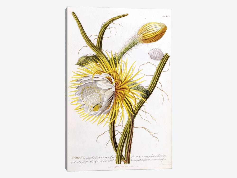 Cereus by Georg Dionysius Ehret 1-piece Canvas Art Print
