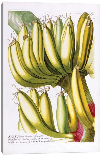 Musae (Bananas) I Canvas Art Print