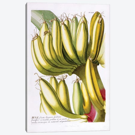 Musae (Bananas) I Canvas Print #GDE5} by Georg Dionysius Ehret Canvas Wall Art